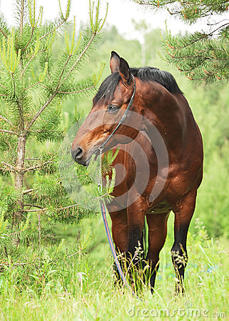 Wonderful Trakehner stallion in pine tree forest