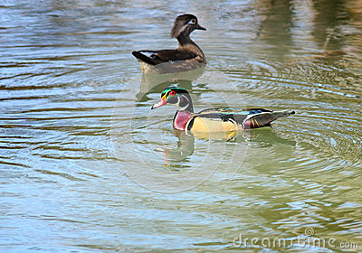 Wonderful Wood Ducks