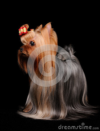 Wonderful Yorkshire Terrier
