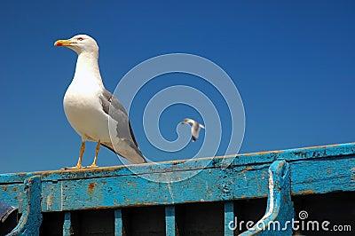 Wondering seagull