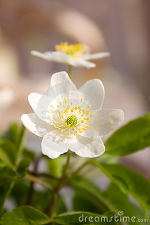 Free Wood Anemone Royalty Free Stock Photos - 1839298