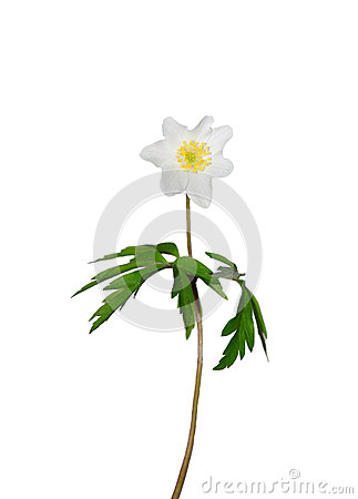 Free Wood Anemone (Anemone Nemorosa) Stock Images - 24895494