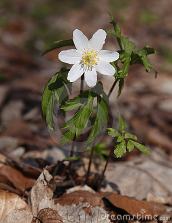 Free Wood Anemone (Anemone Nemorosa) Royalty Free Stock Image - 9832966