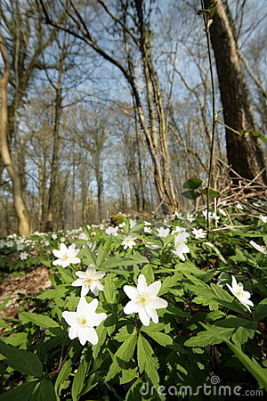 Wood anemone in forest