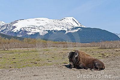 Wood Bison in countryside