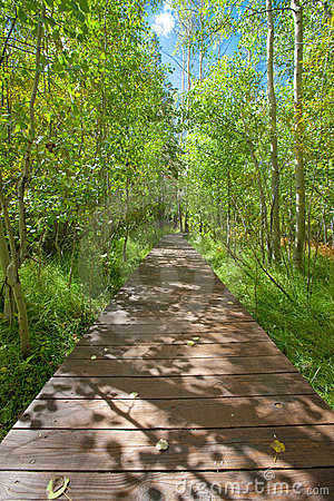 Wood bridge walkway through serene aspen forest
