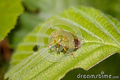 Wood bug on green sheet