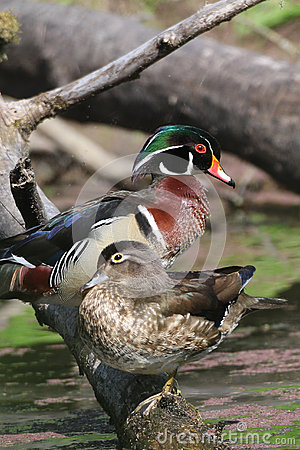Free Wood Duck Pair Royalty Free Stock Image - 68214056