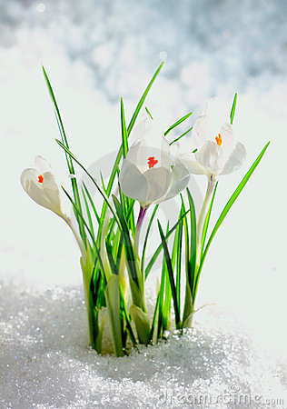 The wood flowers growing through snow