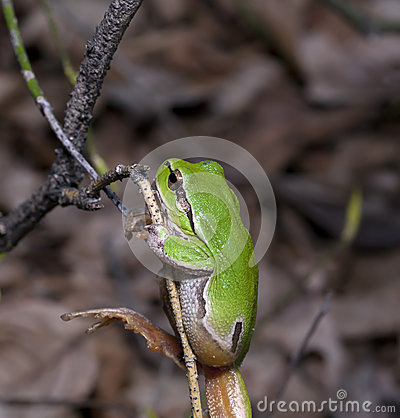 Wood green frog on a tree