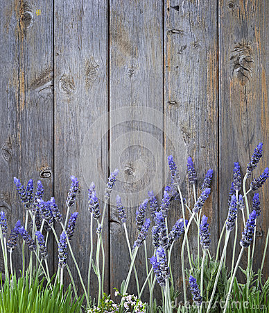 Free Wood Lavender Flowers Background Stock Images - 33047444