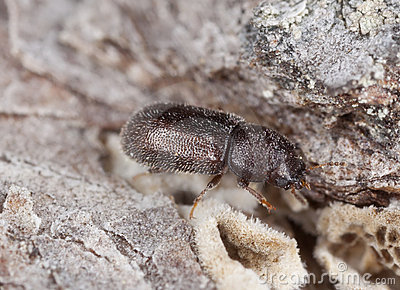 Wood living beetle