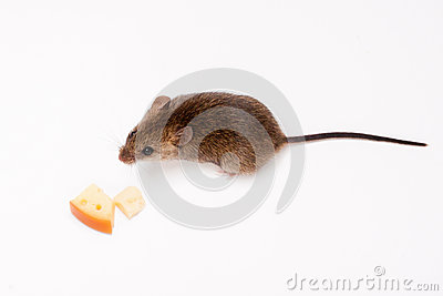 Wood mouse and cheese.