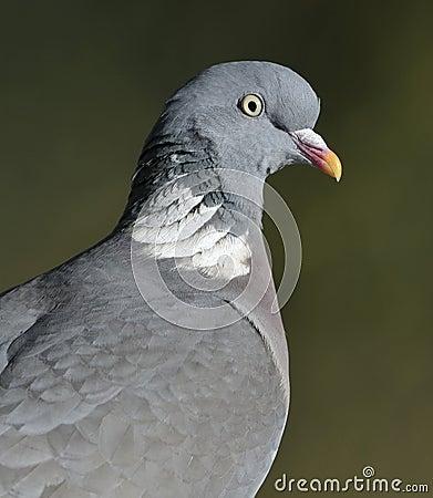 Wood Pigeon Portrait