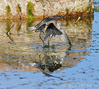 Wood sandpipers are playing