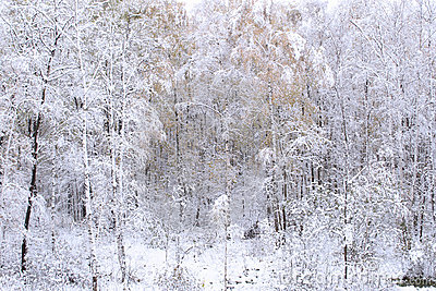 Wood in a snow. Winter.