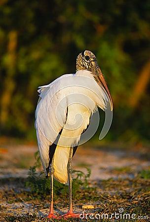 Free Wood Stork Stock Image - 11865031