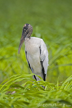 Free Wood Stork Royalty Free Stock Photography - 3217397