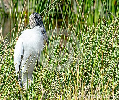 Wood Stork in Grass