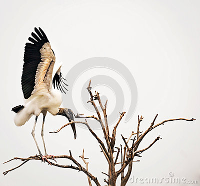 Free Wood Stork In Tree Royalty Free Stock Photos - 75425668
