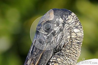 Wood stork, mycteria americana