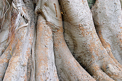 Wood texture of the intricate trunk of an old centennial giant ficus
