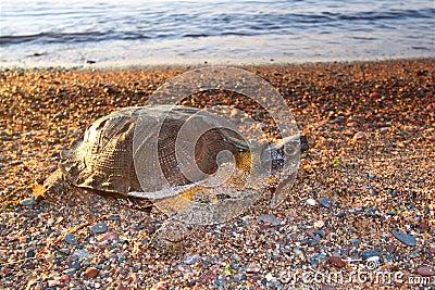 Wood Turtle (Glyptemys insculpta)