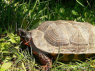 Wood Turtle side