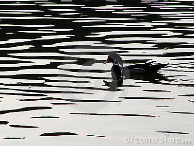 Woodduck Silhouette Stock Image Image 17681