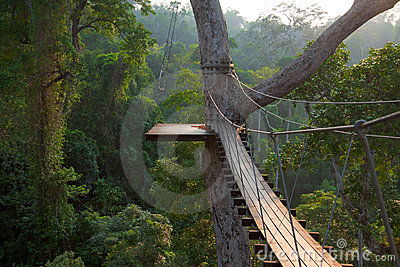 Wooden bridge on tree in jungle
