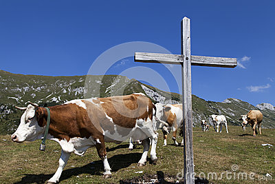 Wooden cross and cows on the mountain
