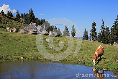 Wooden hut and drinkig cow, Slovenia