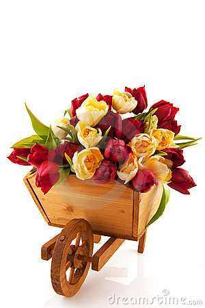 Wooden wheelbarrow with tulips