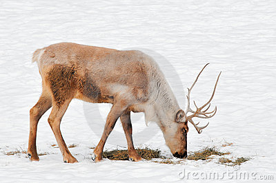 Woodland Caribou in Snowy Field