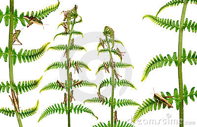 Woodland Grasshoppers, Omocestus rufipes