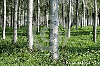Woodland Poplars