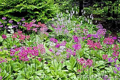 Woodland Primula