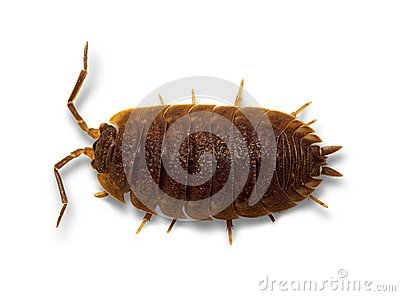 Woodlouse generał