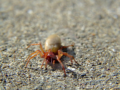The Woodlouse Spider (Dysdera crocata)