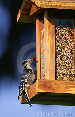 Free Woodpecker At Bird Feeder Stock Photos - 852493