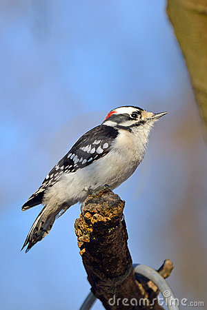 Woodpecker Downy