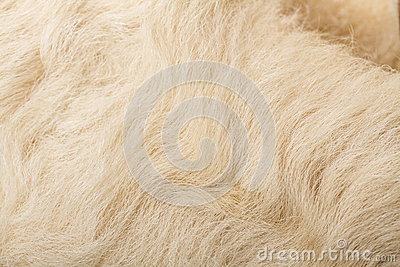 Wool sheep closeup