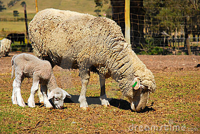 Wool sheep and lamb