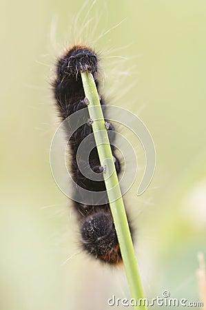 Woolly bear eating grass