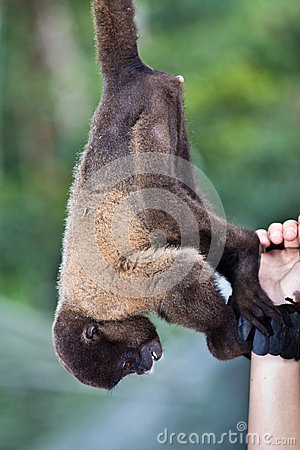 Woolly monkey reaching for tourist bracelet
