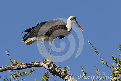 Wooly Necked Stork perched, South Africa