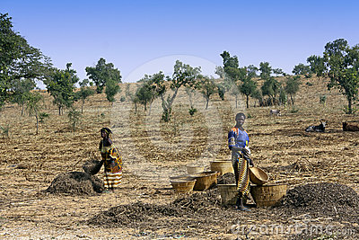 Work in the fields - Mali Editorial Stock Image
