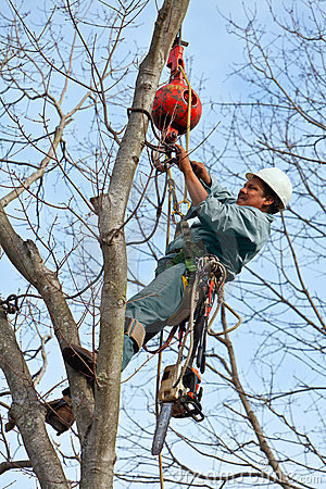Worker with Chainsaw in  a Tree