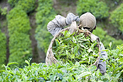Worker Harvesting Tea Leaves Editorial Photography