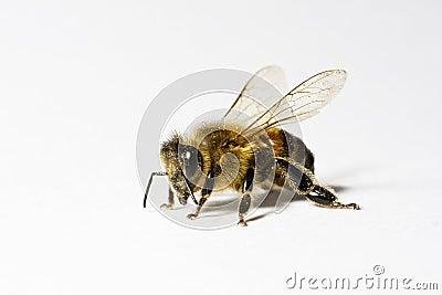 Worker honey bee (apis) with pollen,